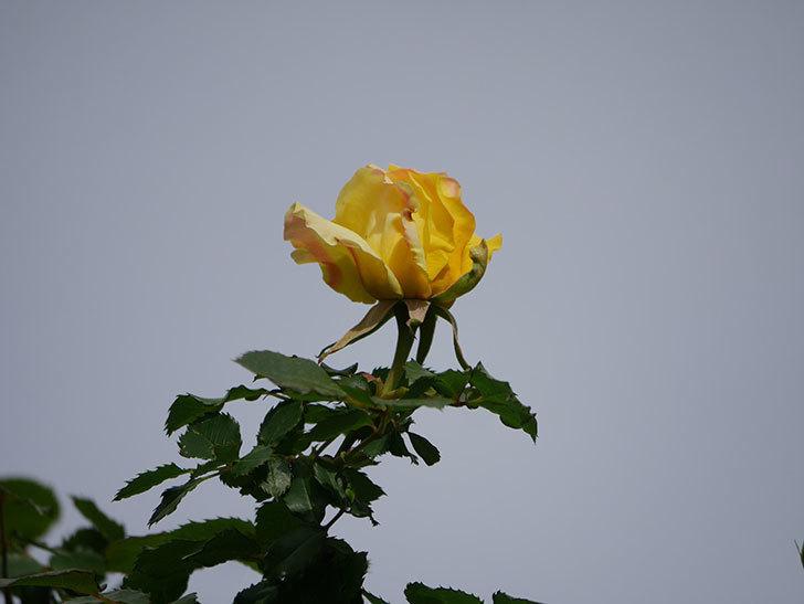 つるゴールドバニー(Gold Bunny Climbing)の花が少し咲いた。ツルバラ。2021年-007.jpg