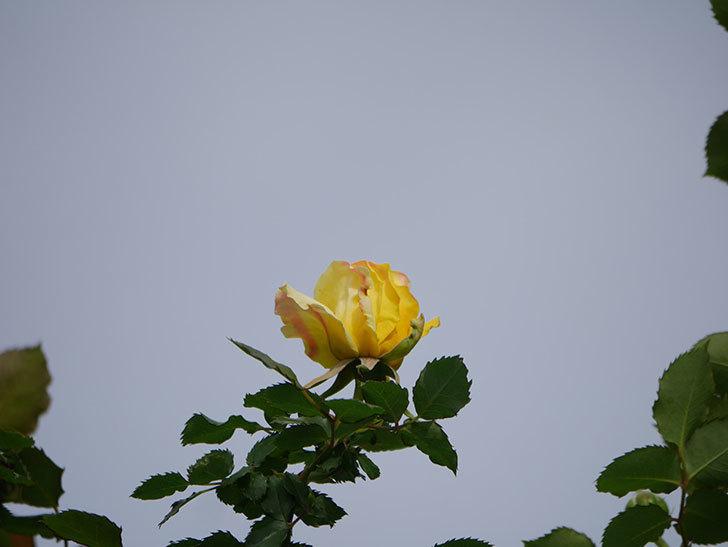 つるゴールドバニー(Gold Bunny Climbing)の花が少し咲いた。ツルバラ。2021年-008.jpg