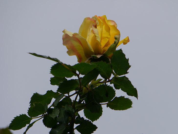 つるゴールドバニー(Gold Bunny Climbing)の花が少し咲いた。ツルバラ。2021年-009.jpg