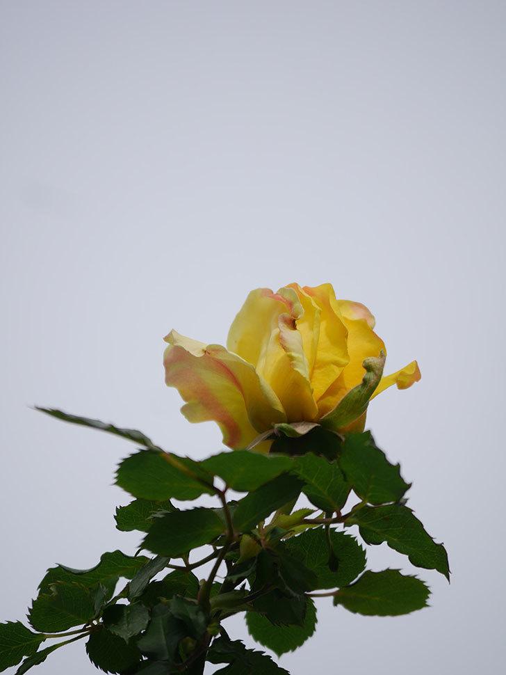 つるゴールドバニー(Gold Bunny Climbing)の花が少し咲いた。ツルバラ。2021年-010.jpg