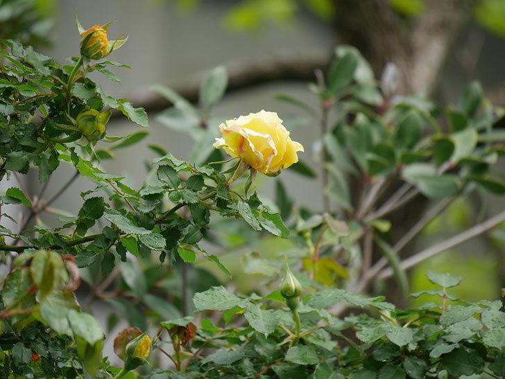 つるゴールドバニー(Gold Bunny Climbing)の花が少し咲いた。ツルバラ。2021年-015.jpg