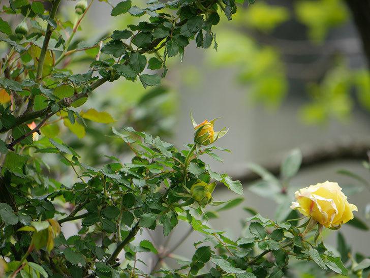 つるゴールドバニー(Gold Bunny Climbing)の花が少し咲いた。ツルバラ。2021年-016.jpg