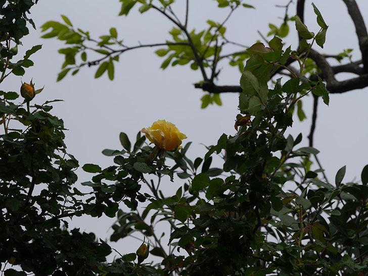 つるゴールドバニー(Gold Bunny Climbing)の花が少し咲いた。ツルバラ。2021年-017.jpg