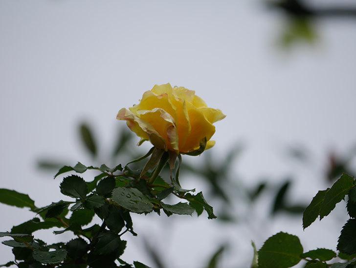 つるゴールドバニー(Gold Bunny Climbing)の花が少し咲いた。ツルバラ。2021年-018.jpg
