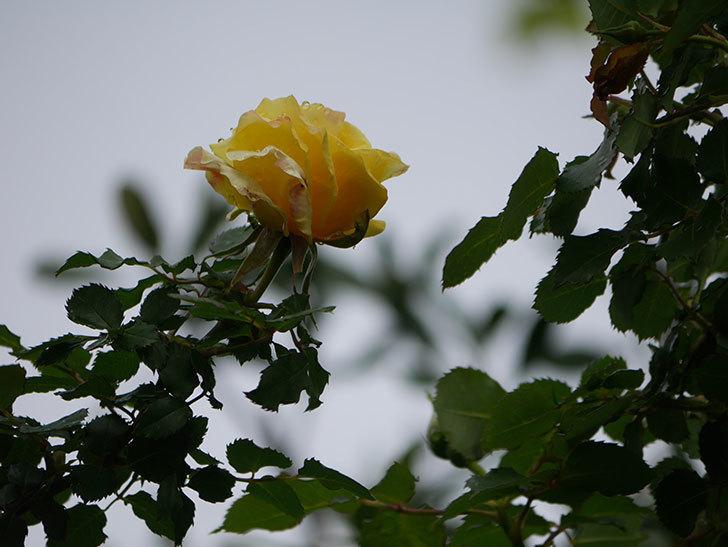 つるゴールドバニー(Gold Bunny Climbing)の花が少し咲いた。ツルバラ。2021年-019.jpg