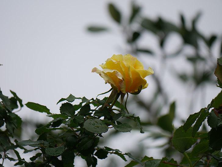 つるゴールドバニー(Gold Bunny Climbing)の花が少し咲いた。ツルバラ。2021年-020.jpg