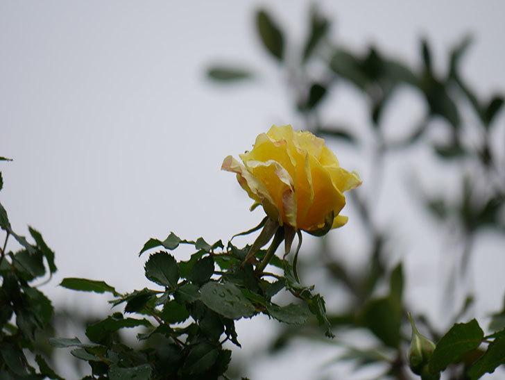 つるゴールドバニー(Gold Bunny Climbing)の花が少し咲いた。ツルバラ。2021年-021.jpg