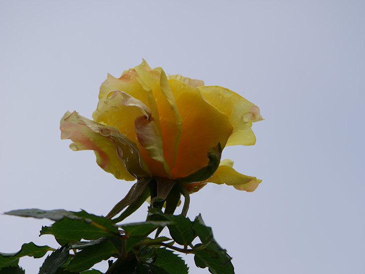 つるゴールドバニー(Gold Bunny Climbing)の花が少し咲いた。ツルバラ。2021年-022.jpg