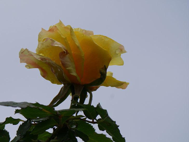 つるゴールドバニー(Gold Bunny Climbing)の花が少し咲いた。ツルバラ。2021年-023.jpg