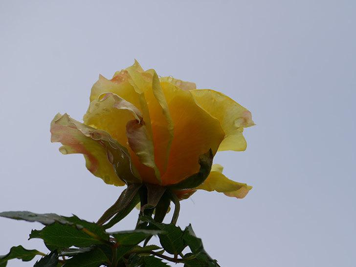 つるゴールドバニー(Gold Bunny Climbing)の花が少し咲いた。ツルバラ。2021年-024.jpg