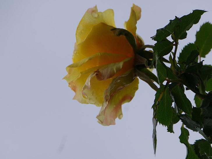 つるゴールドバニー(Gold Bunny Climbing)の花が少し咲いた。ツルバラ。2021年-026.jpg