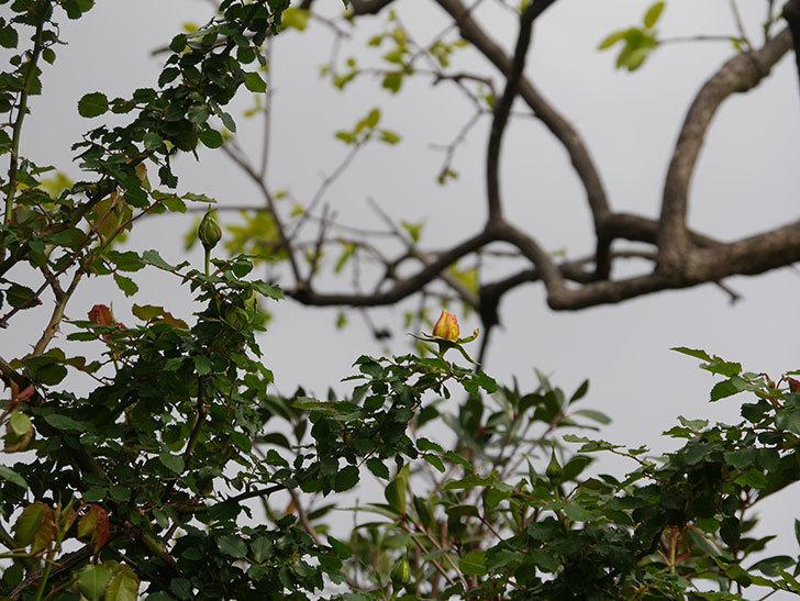 つるゴールドバニー(Gold Bunny Climbing)の蕾が膨らんできた。ツルバラ。2021年-001.jpg