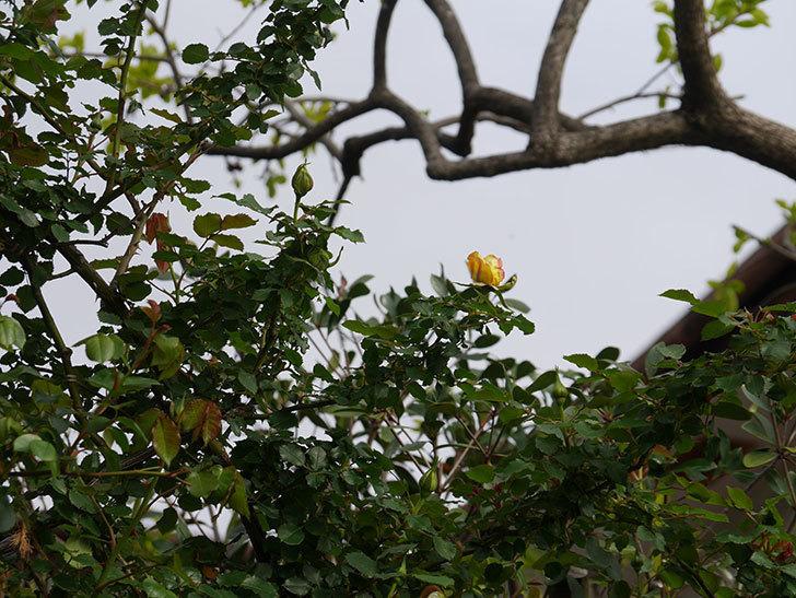 つるゴールドバニー(Gold Bunny Climbing)の蕾が膨らんできた。ツルバラ。2021年-007.jpg