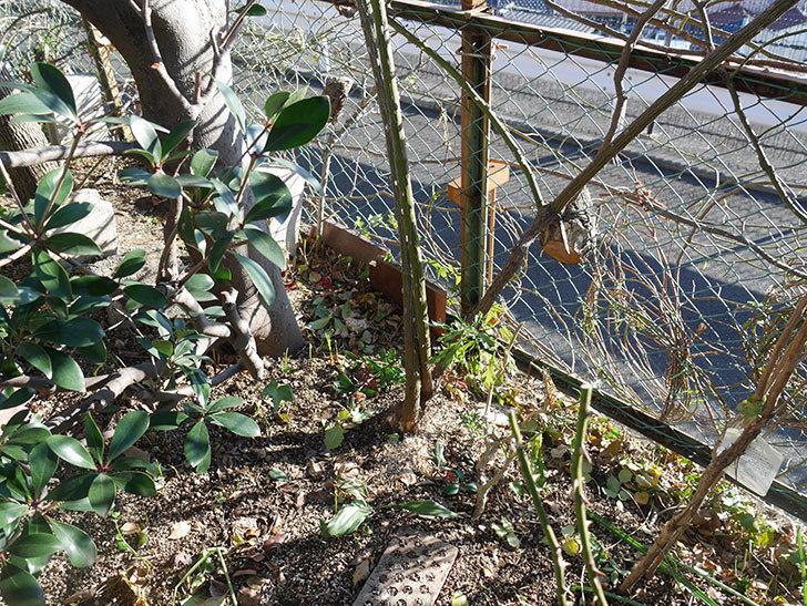 つるゴールドバニー(Gold Bunny Climbing)の誘引。(2)誘引した。ツルバラ。2021年-016.jpg