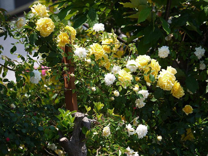 つるゴールドバニーとアルベリック・バルビエが混ざって咲いた。2017年-10.jpg