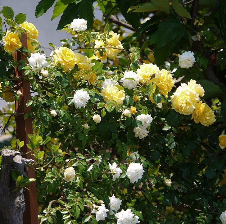 つるゴールドバニーとアルベリック・バルビエが混ざって咲いた。2017年-11.jpg
