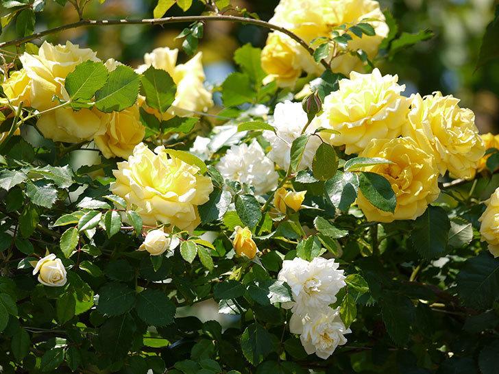 つるゴールドバニーとアルベリック・バルビエが混ざって咲いた。2017年-19.jpg