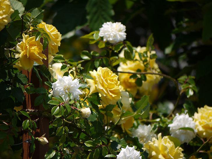 つるゴールドバニーとアルベリック・バルビエが混ざって咲いた。2017年-8.jpg
