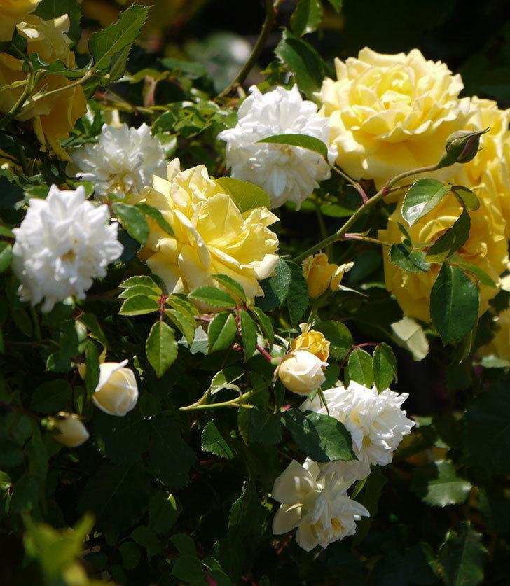つるゴールドバニーとアルベリック・バルビエが混ざって咲いた。2017年-9.jpg
