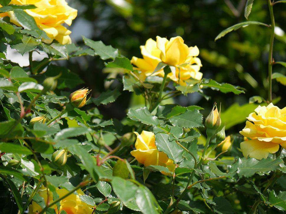 つるゴールドバニー(ツルバラ)がたくさん咲いた。2018年-13.jpg