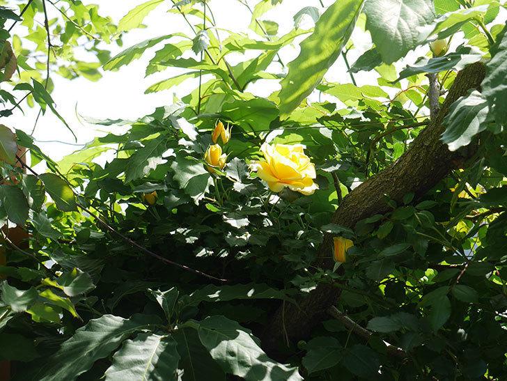 つるゴールドバニー(ツルバラ)がたくさん咲いた。2018年-22.jpg