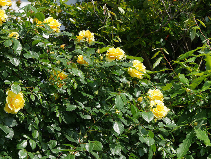 つるゴールドバニー(ツルバラ)がたくさん咲いた。2018年-6.jpg