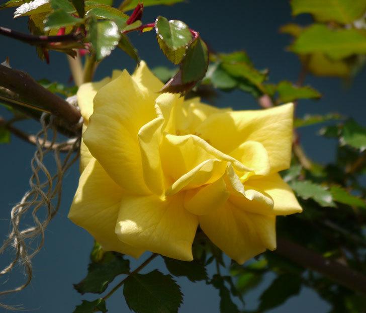 つるゴールドバニー(ツルバラ)が咲いた。2018年-6.jpg