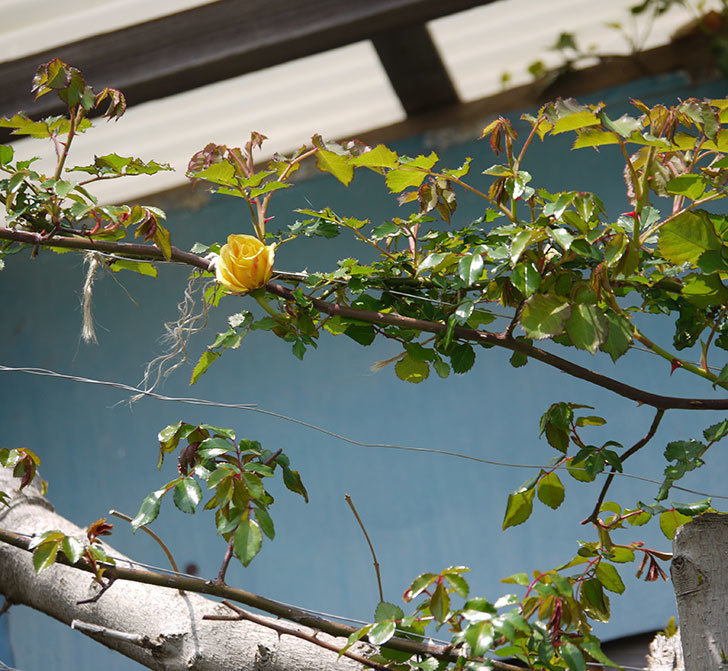 つるゴールドバニー(ツルバラ)が少し咲いた。2018年-4.jpg