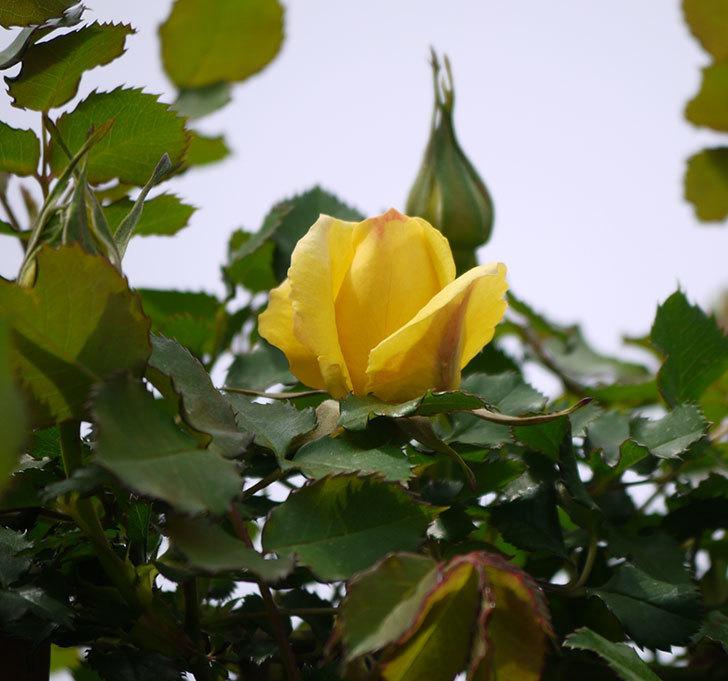 つるゴールドバニー(ツルバラ)に2個目の花が咲いた。2018年-1.jpg