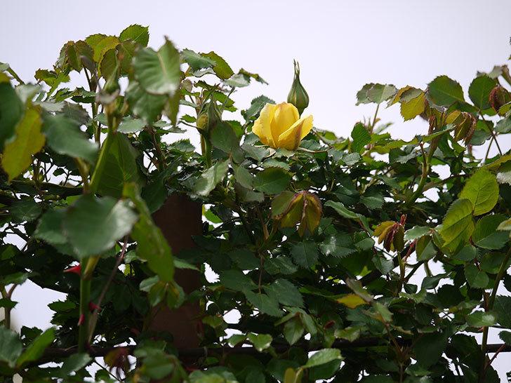 つるゴールドバニー(ツルバラ)に2個目の花が咲いた。2018年-2.jpg