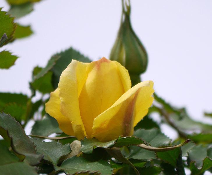 つるゴールドバニー(ツルバラ)に2個目の花が咲いた。2018年-4.jpg