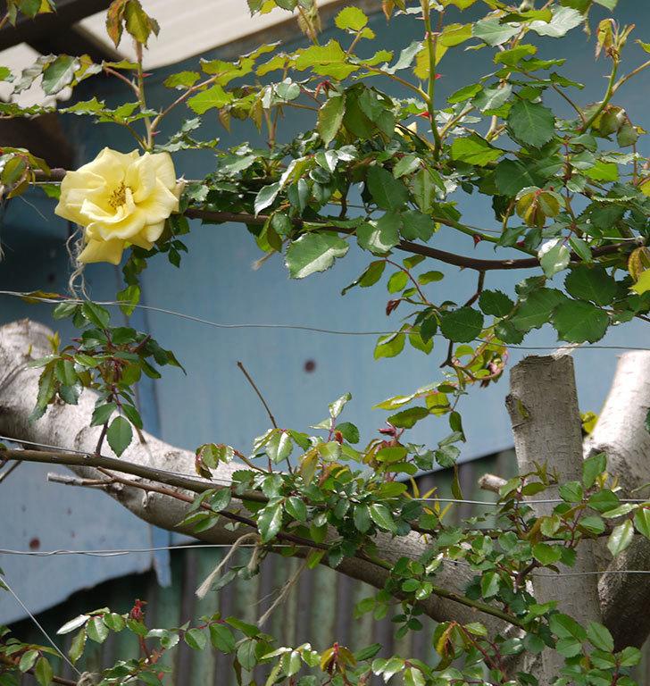 つるゴールドバニー(ツルバラ)に2個目の花が咲いた。2018年-7.jpg