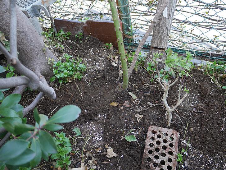 つるゴールドバニー(ツルバラ)に寒肥を施した。2019年-3.jpg