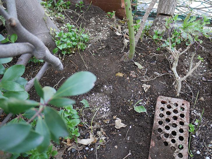 つるゴールドバニー(ツルバラ)に寒肥を施した。2019年-4.jpg