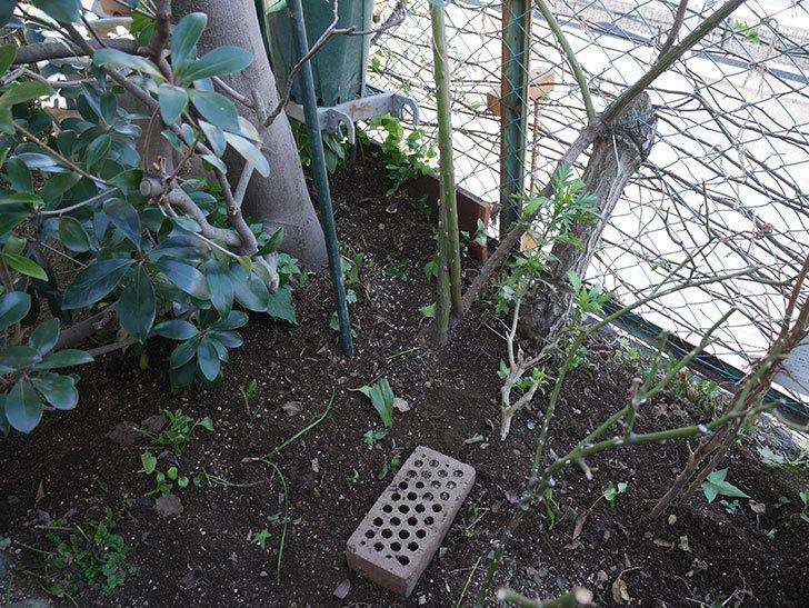 つるゴールドバニー(ツルバラ)に寒肥を施した。2020年-3.jpg