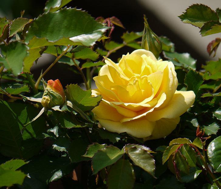 つるゴールドバニー(ツルバラ)の2個目の花が綺麗に咲いた。2018年-1.jpg