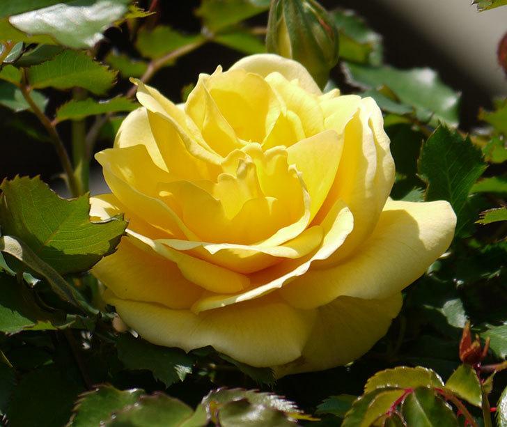 つるゴールドバニー(ツルバラ)の2個目の花が綺麗に咲いた。2018年-2.jpg