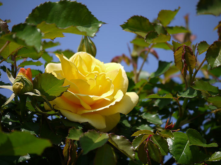つるゴールドバニー(ツルバラ)の2個目の花が綺麗に咲いた。2018年-3.jpg