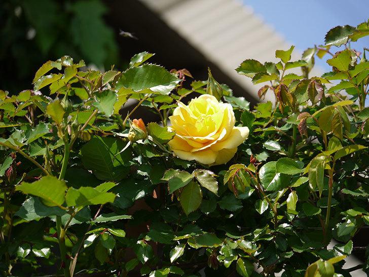 つるゴールドバニー(ツルバラ)の2個目の花が綺麗に咲いた。2018年-4.jpg