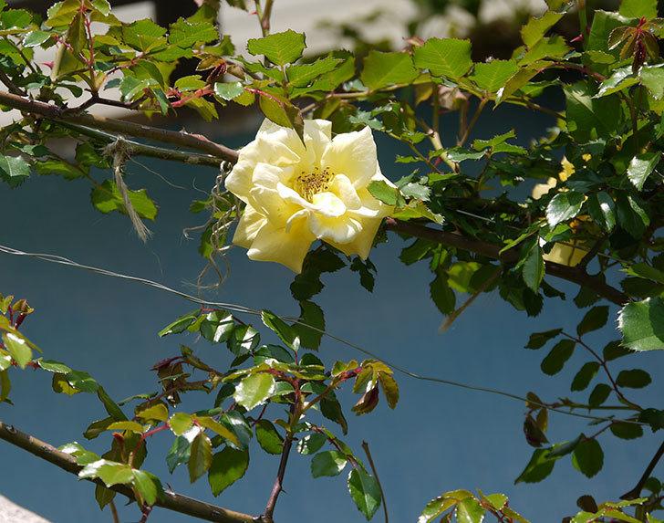 つるゴールドバニー(ツルバラ)の2個目の花が綺麗に咲いた。2018年-5.jpg