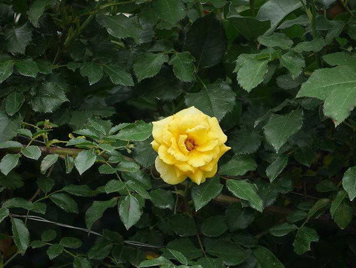 つるゴールドバニー(ツルバラ)の2番花が咲いた。2018年-2.jpg