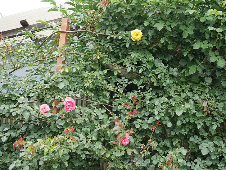 つるゴールドバニー(ツルバラ)の2番花が咲いた。2018年-3.jpg