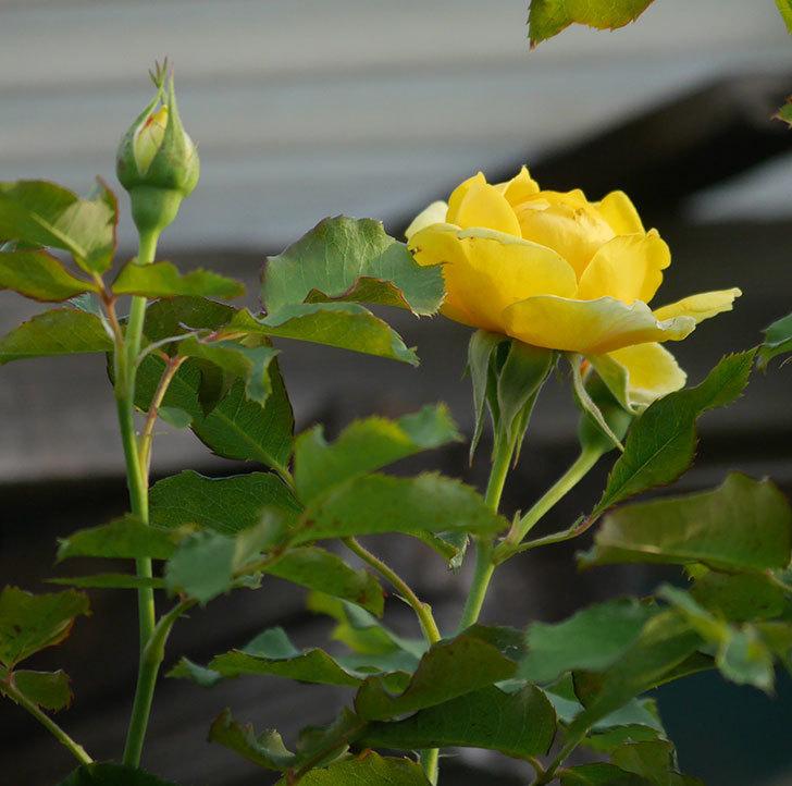 つるゴールドバニー(ツルバラ)の2番花が咲いた。2019年-1.jpg