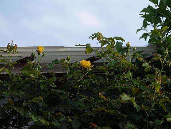 つるゴールドバニー(ツルバラ)の2番花が咲いた。2019年-2.jpg