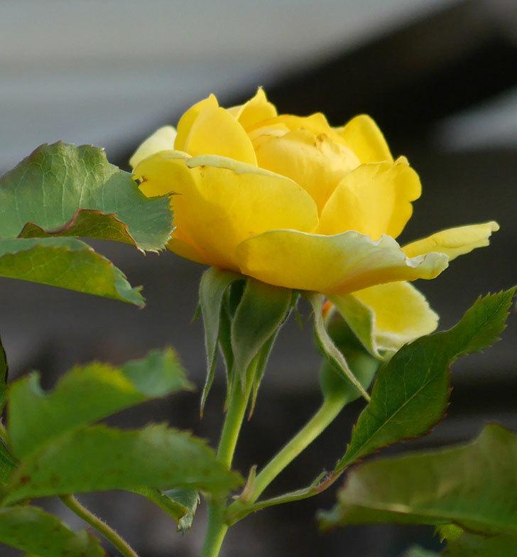 つるゴールドバニー(ツルバラ)の2番花が咲いた。2019年-3.jpg