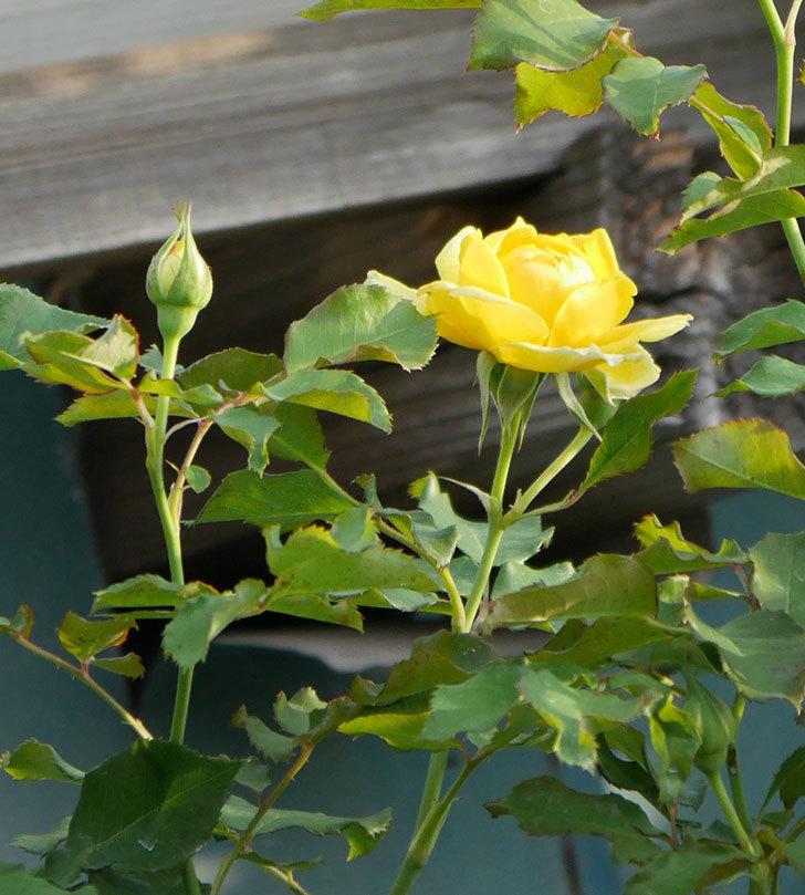 つるゴールドバニー(ツルバラ)の2番花が咲いた。2019年-5.jpg