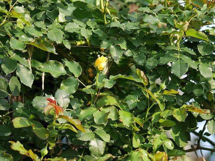 つるゴールドバニー(ツルバラ)の2番花が咲いた。2019年-6.jpg