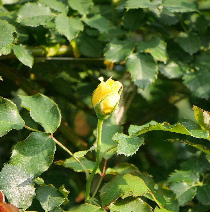 つるゴールドバニー(ツルバラ)の2番花が咲いた。2019年-7.jpg