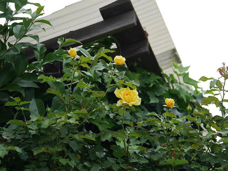 つるゴールドバニー(ツルバラ)の2番花が増えて来た。2019年-10.jpg