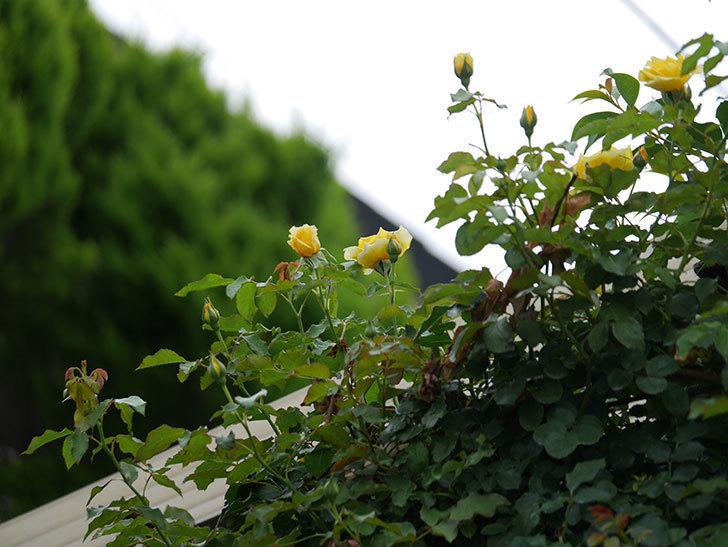 つるゴールドバニー(ツルバラ)の2番花が増えて来た。2019年-11.jpg